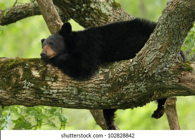 Black Bear resting in a tree
