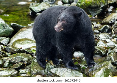 Black Bear in  river,Vancouver Island, Canada
