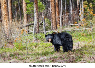 A black bear roaming in Banff National Park