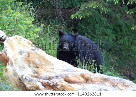 Black Bear Roaming Low Tide Shores Stock Photo (Edit Now