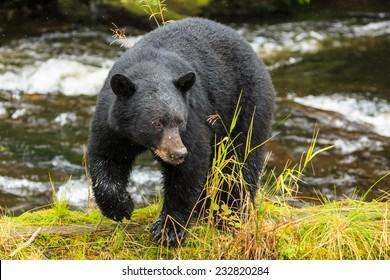 Black bear searching for salmon, Alaska.