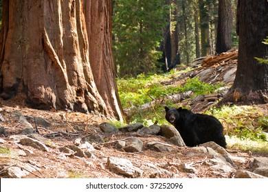 Black Bear in Sequoia National Park, California.