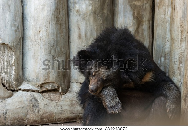 Black bear sitting for sleeping with wood wall in background