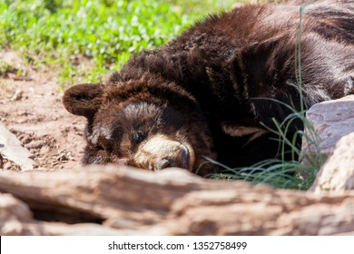 A black bear sleeping by a rock and a log in the sunshine on a spring day with green grass in the background.