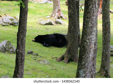 Black bear sleeping in the forest