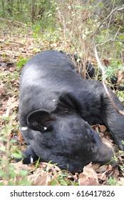 Black bear, sleeping while having a health check