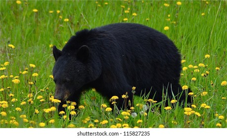 Black Bear smelling flowers