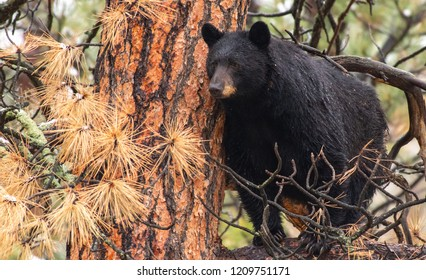 Black Bear Sow in a Pine Tree