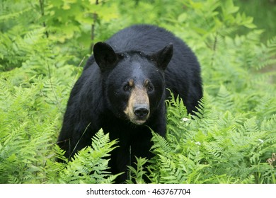 A black bear sow standing in long grass