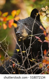 A black bear sow watches over her cubs in Grand Teton National Park, Wyoming.