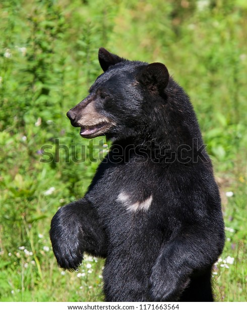 Black Bear Standing Meadow Autumn Canada Stock Photo Edit Now 1171663564