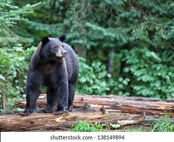 Black bear standing on fallen logs, alert and cautious.  Summer in northern Minnesota