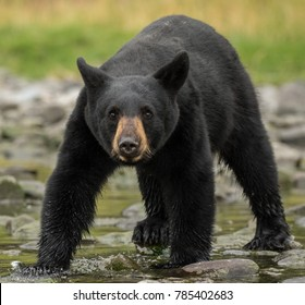 Black Bear Standoff head lowered