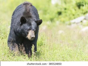 Black bear in the summer
