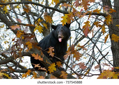 Black bear with tongue sticking out in a tree in autumn in Canada