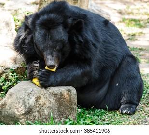 Black bear try to eat corn in open zoo.