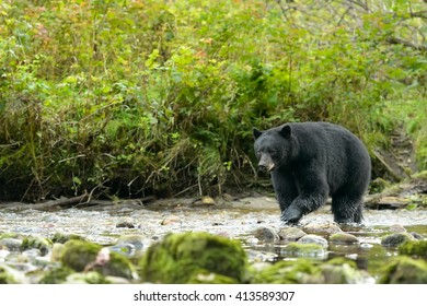 Black Bear (Ursus americans) - Keep Your Eye on the Prize