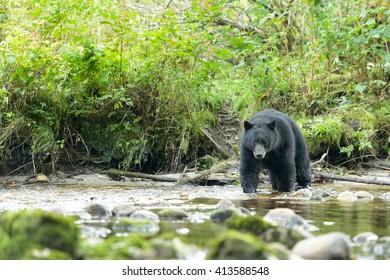 Black Bear (Ursus americans) - Scrutiny