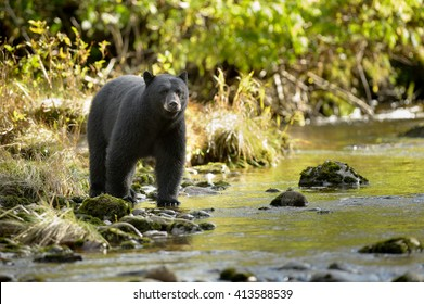 Black Bear (Ursus americans) - Water's Edge Anticipation