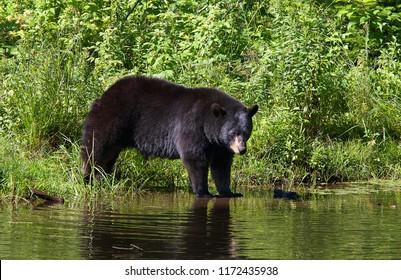 Black bear (Ursus americanus) entering the pond in the meadow in autumn in Canada