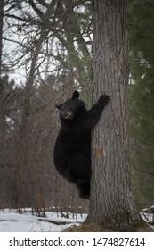 Black Bear (Ursus americanus) Hangs at the Base of Tree Winter - captive animal