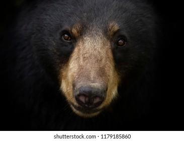 Black bear (Ursus americanus) portrait in the meadow in autumn in Canada