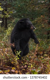Black Bear (Ursus americanus) Rises Up on Back Feet Autumn - captive animal