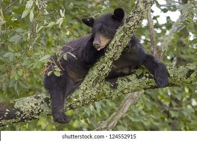 A Black Bear (Ursus Americanus) sleeping in a tree