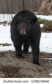 Black Bear (Ursus americanus) Stands on Bare Rock in Snow - captive animal