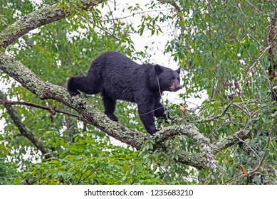 A Black Bear walks a tree limb looking for cherries.
