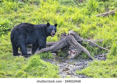 A black bear while eating on grass background