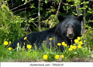 Black bear in wilderness.