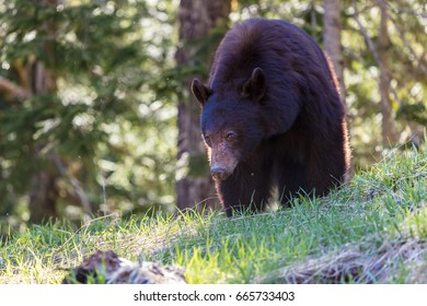 Black Bear in the Wilderness of British Columbia