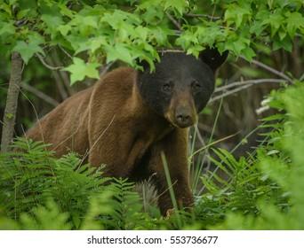 Black bear in woods in Pocosin Lakes National Wildlife Refuge.