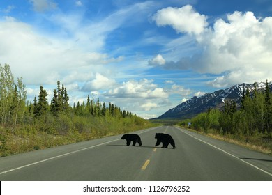 Black Bears crossing a remote highway in Canada. Haines Highway, Kluane National Park. Yukon Territory, Canada.