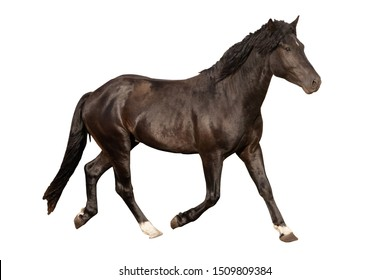 black beautiful young strong racehorse galloping she is isolated on a white background, farm animal, horse on a white background
