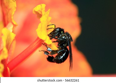 Black bee foraging for nectar