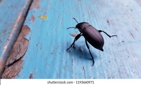 Black beetle Blaps Mortisaga closeup on blue distressed wooden background. Contrast bug silhouette on bright blue textured backdrop. Big black bug closeup.