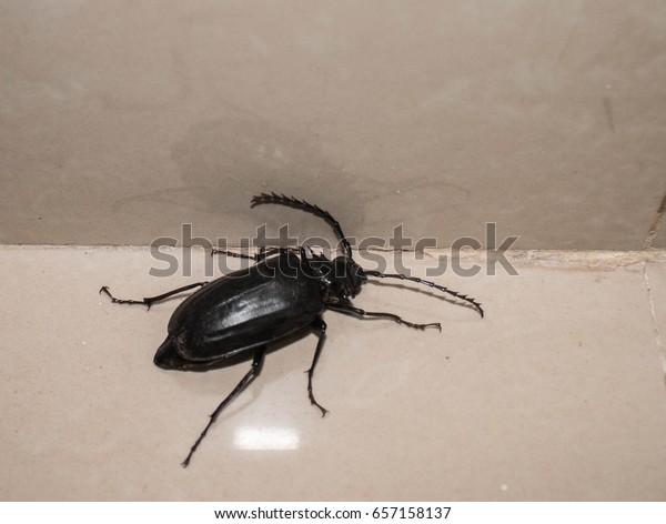 Black Beetle Inside House During Rain Stock Photo (Edit Now