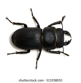 black beetle with pincers