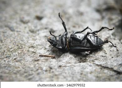 The black beetle lies on its back. Dead beetle