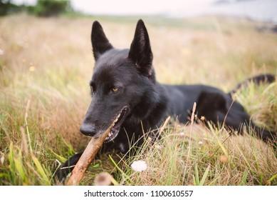 Black Belgian shepherd groenendael biting a stick in nature