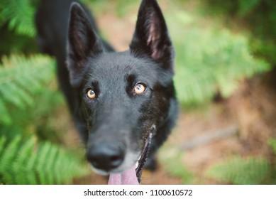 Black Belgian shepherd groenendael portrait in nature