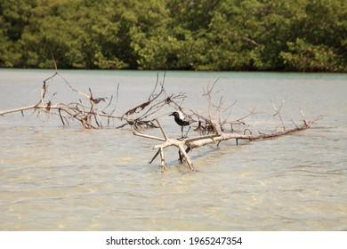 Black bellied plover bird Pluvialis squatarola on a branch in the ocean water of Bonita Springs, Florida