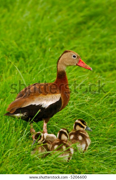 black bellied whistling duck stands guard over its ducklings