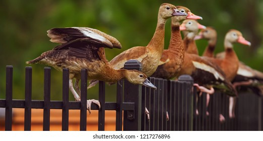 Black bellied whistling ducks perched on fence