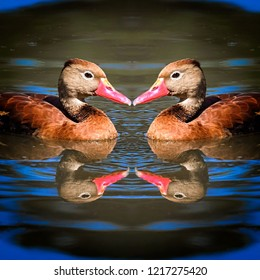 Black bellied whistling ducks swimming with reflections in the water