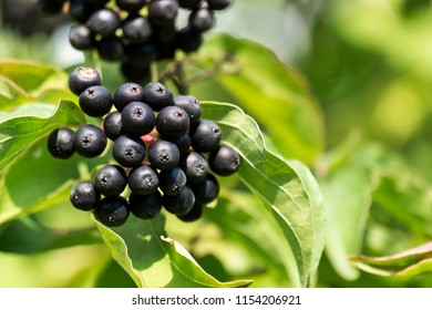 Black berries of common dogwood (Cornus sanguinea)