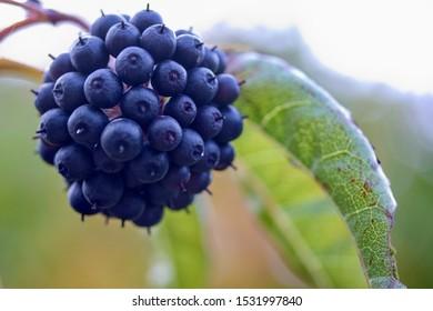 Black berries of eleutherococcus nodiflorus - Shutterstock ID 1531997840