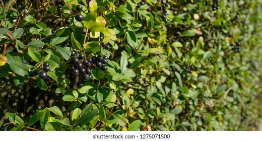 Black berries at a privet (Ligustrum) hedge as close-up
